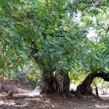noce-old-wild-walnut-tree-cnr