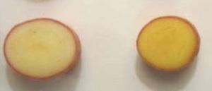 patata-golden-potato-enea