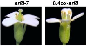 fertilita-maschile-piante-cnr