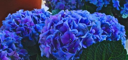 fiori-ortensia