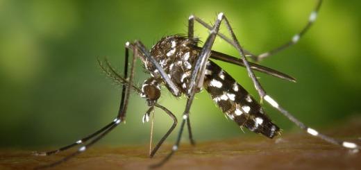 zanzara-tigre