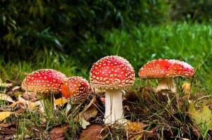 funghi-rossi