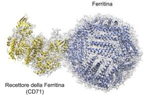 complesso-ferritina-recettore