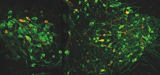 neuron-memoria-ipotalamo-nico-unito