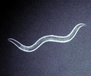 c-elegans-ucbm