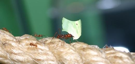 formiche-tropicali-uni-firenze